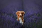 Dog Nova Scotia duck tolling Retriever on lavender field - 183505798