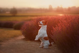 Dog Jack Russell Terrier on lavender field - 183505943