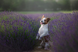 Dog Jack Russell Terrier on lavender field - 183505973