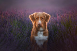 Fototapeta Lawenda - Dog Nova Scotia duck tolling Retriever on lavender field © annaav