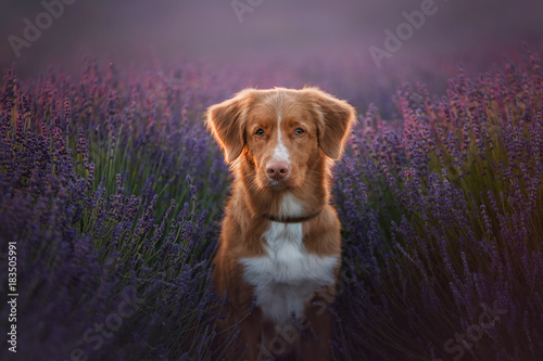Fototapeta Dog Nova Scotia duck tolling Retriever on lavender field
