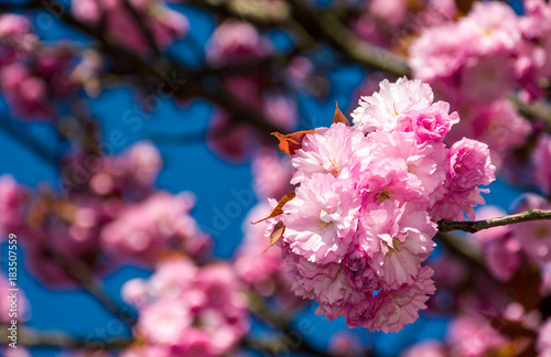 Fotobehang Kersen beautiful spring background with pink Sakura flowers closeup on a branch on the blurred background of blossoming garden in springtime