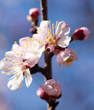 Flowers on the tree Apricot in the nature