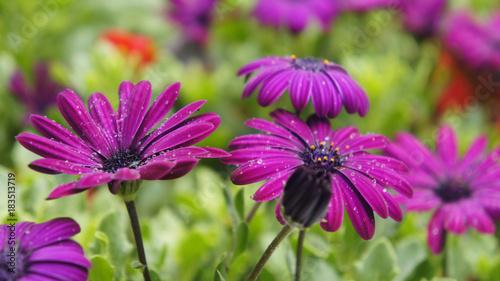 Violet lush flower buds in dew
