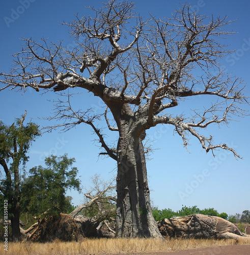 In de dag Baobab African baobab