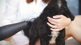Blow drying a small black dog close-up slow mov 4K - 183519317