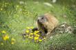 Quadro Alpine marmot in the natural environment. Dolomites.