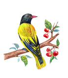 Masked Oriole on a branch of a wild apple-tree, watercolor drawing of a bird on a white background. - 183520760