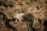 Dorset grey squirrel - 183523909
