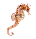 Seahorse isolated on white background. Watercolor. Illustration. Picture. Clip Art
