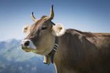 Kuh auf einer Alm, Österreich, Bregenzerwald - 183525107