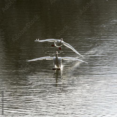 Plexiglas Zwaan Höckerschwäne , Cygnus olor, bei der Landung