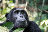 Common Chimpanzee - Scientific name- Pan troglodytes schweinfurtii portrait at Kibale Forest National Park, Rwenzori Mountains, Uganda, Africa - 183532507