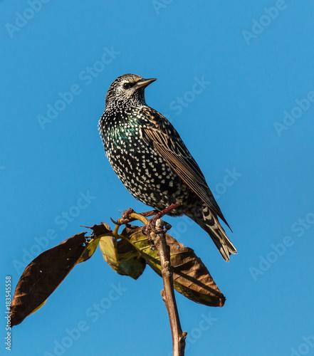 starling in the sun in winter