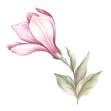 Image of blooming magnolia branch. Watercolor illustration - 183548107