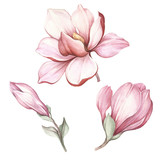 Set of blooming magnolia. Hand draw watercolor illustration. - 183548119