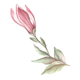 Image of blooming magnolia branch. Watercolor illustration - 183548132