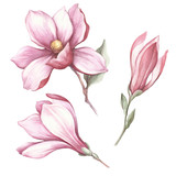 Set of blooming magnolia. Hand draw watercolor illustration. - 183548149