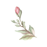 Image of blooming magnolia branch. Watercolor illustration - 183548174