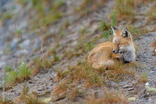 Young Casecade Red Fox with Eyes Closed