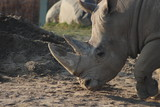 rhino head shot - 183557763