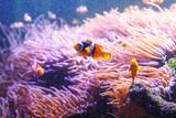 Sea anemone and clown fish in marine aquarium - 183563793