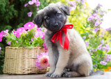 Puppy sits next to a basket of flowers in the garden - 183574125