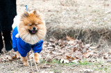 The cute German spitz dog in the blue sweater walking on the street, toned Instagram filter - 183574933