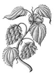 Hops vintage drawing by ink isolated on white background - 183578315
