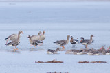 Red Breasted, Greylag and White-fronted Geese in Winter - 183583544