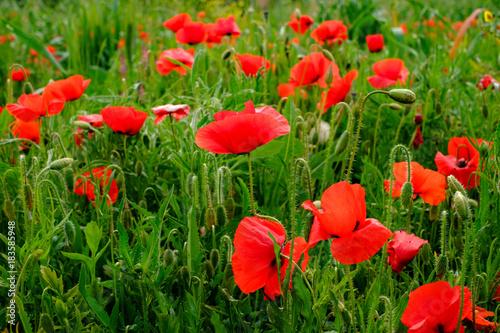 Les fleurs de coquelicots.
