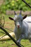 White goat, a portrait - 183587923
