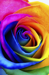 Rainbow rose or happy flower © fullempty