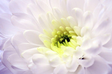 Close up of white aster flower
