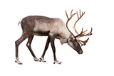 Portrait of an adult reindeer on a white background - 183595316