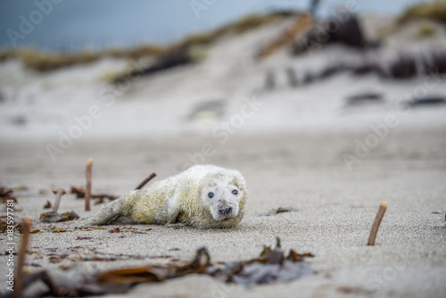 Comical playful common seal (Phoca vitulina) pup lying on side on beach of Helgo Poster