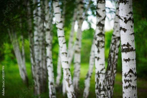 Plexiglas Berkenbos birch grove at spring time