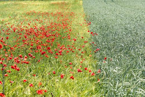 Plexiglas Klaprozen Poppies and Wheat field