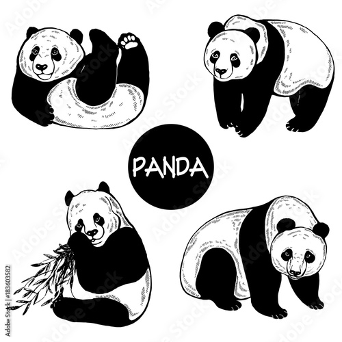 Set of hand drawn sketch style pandas. Vector illustration isolated on white background.