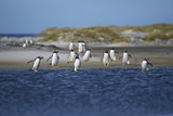 Gentoo Penguins (Pygoscelis papua) crossing a lagoon on Sea Lion Island in the Falkland Islands. - 183621743