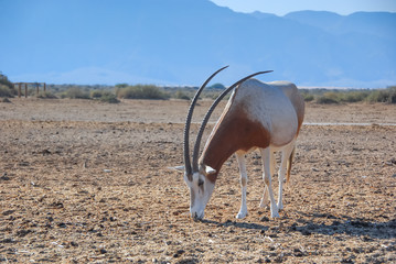 Antelope scimitar horn Oryx (Oryx leucoryx).Due to danger of extinction, the species was introduced from Sahara and adopted in nature reserve near Eilat, Israel