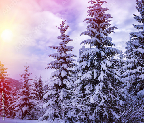 Aluminium Purper Christmas winter landscape, spruce and pine trees covered in snow on a mountain road