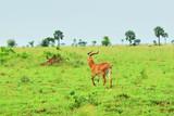Antelope reedbuck, Uganda, Africa
