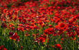 vivid red poppy field at sunset. beautiful summer background - 183646721