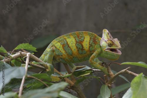 Plexiglas Kameleon Jemenchamäleon geht über Blätter, Chamaeleo calyptratus