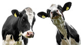 two cows isolated - 183660123