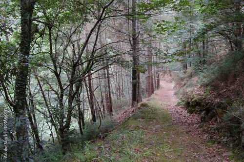 In de dag Weg in bos Asturias, España. Sendero en bosque de jovenes troncos de castaño y roble. Trail in forest of young trunks of chestnut and oak