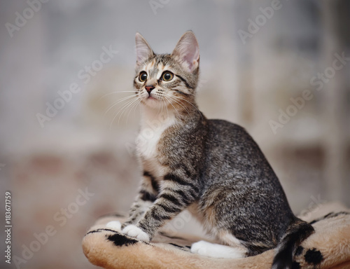 Young striped cat with brown eyes