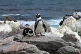 Pingwin przylądkowy