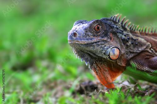 Aluminium Kikker iguana, animal, reptile, animal,